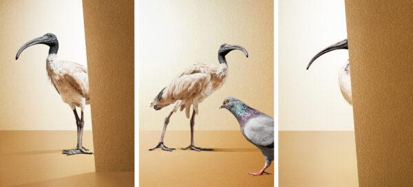Stuart Miller's glorious White Ibis series
